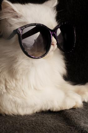 White cat wearing sunglasses